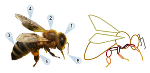 bee-shapes