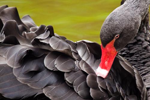 um cisne negro, animal raro e diferente dos demais da sua espécie